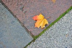 Autumn maple leaf lying on the wet granite. Single lash on the sidewalk Stock Images