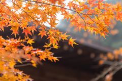 Autumn maple leaf nature travel scene. In fall season in Tokyo stock photography