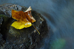 Autumn maple leaf near a water stream Stock Image