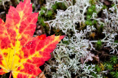 Autumn Maple Leaf och Lichen Close Up Royaltyfri Foto