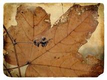 Autumn maple leaf. Old postcard. Royalty Free Stock Image