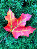 Autumn Maple Leaf på evergreen Royaltyfri Bild