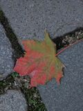Autumn maple leaf on a pavement. In the city Stock Photo