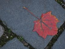 Autumn maple leaf on a pavement. In the city Royalty Free Stock Image