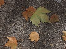 Autumn maple leaf on a pavement. In the city Stock Photos