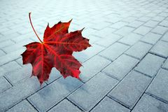 Autumn, maple leaf in rain. On road royalty free stock images