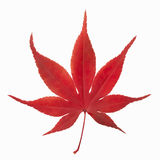 Autumn maple leaf. Red Autumn leaf of maple Royalty Free Stock Photography