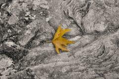 Autumn maple leaf on rock background Stock Images