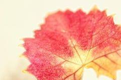 An autumn maple leaf in soft focus. stock photos