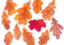 Autumn maple leaf surrounded by oak leaves Stock Image