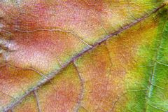 Autumn maple leaf texture micro. royalty free stock images