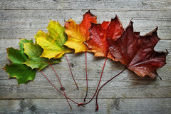 Autumn Maple leaf transition. And variation concept for fall and change of season stock images
