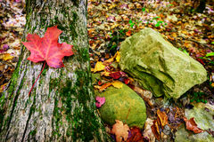 Autumn Maple Leaf on a Tree Trunk in a Rocky Forest Royalty Free Stock Photo