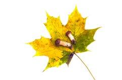 Autumn maple leaf and two mushrooms fungi cep isolated Stock Image
