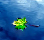 Autumn maple leaf on the water. Autumn maple leaf on the blue water Stock Image