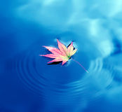 Autumn maple leaf on water Stock Photography