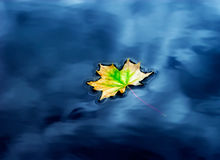 Autumn maple leaf on the water Stock Photos
