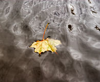 Autumn maple leaf on the water Royalty Free Stock Photography
