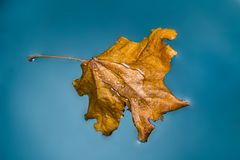 Autumn maple leaf in water Stock Images