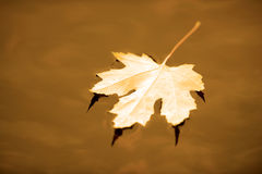 Autumn maple leaf in water Royalty Free Stock Photos