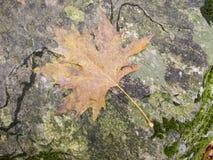 Autumn maple leaf. A maple leaf on wet rock Royalty Free Stock Photos
