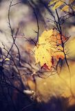 Autumn maple leaf which has fallen and got stuck in branches. Stock Image
