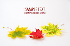 Autumn maple leaf on white background Stock Image