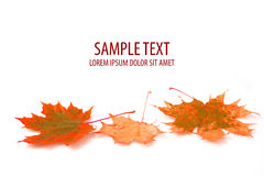 Autumn maple leaf on white background Stock Photos