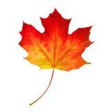 Autumn Maple Leaf on White Stock Images