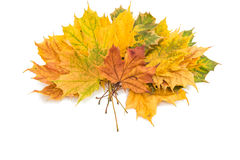 autumn maple leaf stock photos