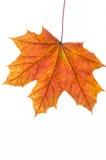 Autumn maple  leaf on white background Royalty Free Stock Images