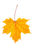 Autumn maple leaf on white Stock Photos