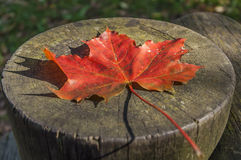 Autumn Maple Leaf. On The Wood Stock Photos