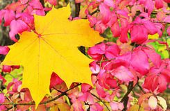 Autumn maple leaf. Yellow maple leaf on a background of pink foliage Stock Photography