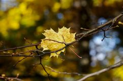 Autumn maple leaf. Yellow maple leaf on a branch, leaf fall Stock Photo