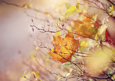 The autumn maple leaf of yellow color Royalty Free Stock Images