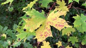 Autumn maple leaf stock video footage