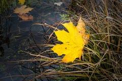 Autumn maple leaf Royalty Free Stock Photos