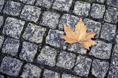 Autumn maple leaf Stock Photo