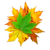Autumn maple leafs Stock Photos
