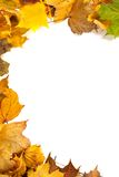 Autumn maple leafs Royalty Free Stock Images