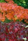 Autumn Maple Leafs coloré sur l'arbre Images libres de droits