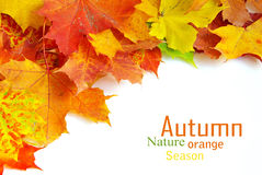 Autumn maple leafs Stock Image