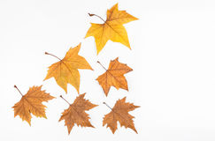 Autumn maple leafs Royalty Free Stock Image