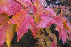 Autumn maple leafs Royalty Free Stock Photos
