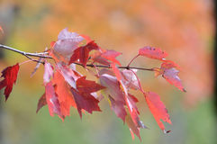 Autumn maple leafs in tree Royalty Free Stock Images