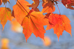 Autumn maple leafs in tree Royalty Free Stock Photos