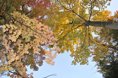 Autumn maple leafs in trees Royalty Free Stock Photos