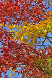 Autumn maple leafs in trees Stock Photos