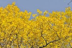 Autumn maple leafs Stock Image